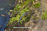 06370-00202 Swamp Darner (Epiaeschna heros) female ovipositing laying eggs on log in water, Marion Co., IL