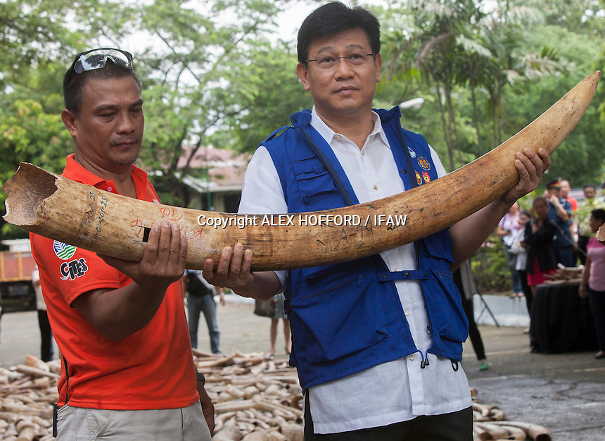Ramon J.P. Paje (R), Philippines Secretary for Environment and Natural Resources holds an elephant tusk, as five tonnes of confiscated ivory from the Philippines stockpile since 2009 is destroyed by excavator at the Philippines Government Protected Areas and Wildlife Bureau of the Department of Environment and Natural Resources, Quezon City, Manila, Philippines, 21 June 2013.