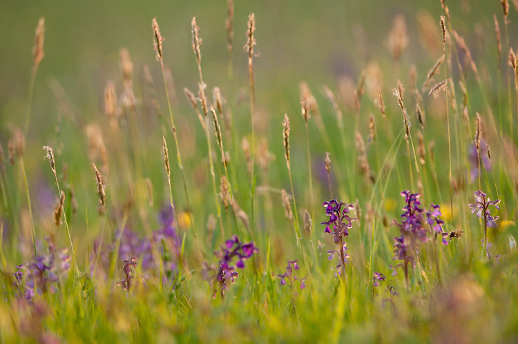 Green Winged Orchid in traditional hay meadow. Clattinger Farm, Wiltshire. UK. . This habitat has been reduced by 98% in the UK since the Second World War. This is largely due to the intensification of farming practices.