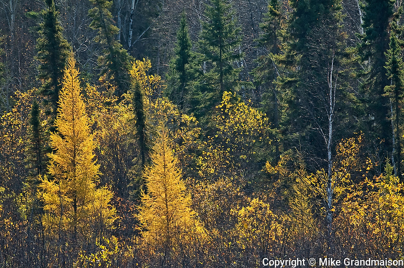 Boreal forest in autumn<br />Ear Falls<br />Ontario<br />Canada