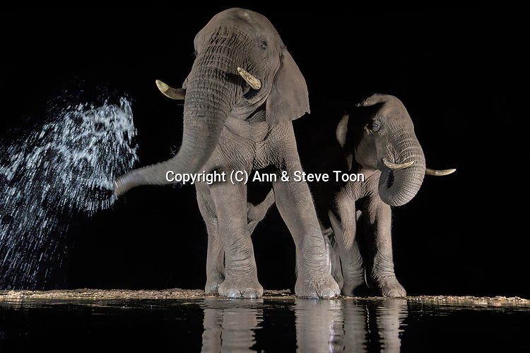 Elephants (Loxodonta africana) drinking at night, Zimanga private game reserve, KwaZulu-Natal, South Africa, May 2017