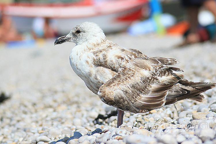 Seagull in Etretat, France