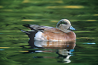 597150010 a wild male american wigeon anas americanas floats in a small pond at bosque del apache national wildlife refuge in new mexico united states