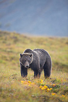 Grizzly bear on the tundra, Denali National Park, Alaska.