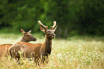 Elk in the Smoky Mountains
