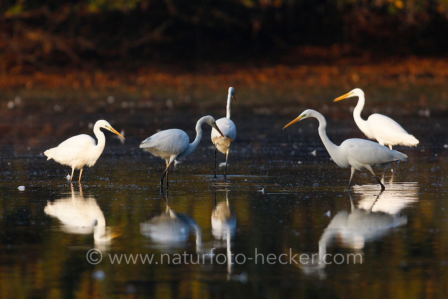 Silberreiher, Silber-Reiher, Reiher, Ardea alba, Casmerodius albus, Egretta alba, Great White Egret, Grande Aigrette