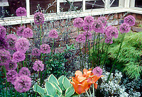 Allium 'Globemaster' with parrot tulip Tulipa, Acer palmatum, Hosta in front of house brick wall corner and windows