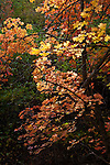 In Utah's Wasatch-Cache National Forest, bigtooth maples erupt into a splendor of autumn color.