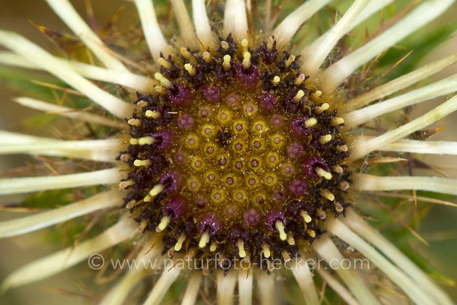 Golddistel, Gemeine Eberwurz, Kleine Eberwurz, Carlina vulgaris, Carline thistle