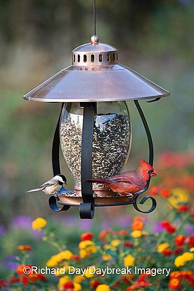 00585-034.11 Carolina Chickadee (Poecile carolinensis) & Northern Cardinal (Cardinalis cardinalis) male on copper lantern feeder  IL