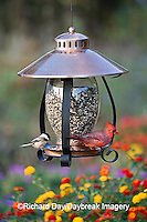 00585-034.11 Carolina Chickadee (Poecile carolinensis) & Northern Cardinal (Cardinalis cardinalis) male on copper lantern feeder  IL