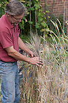 John Letts, Heritage grains. Rare Purple Barley in John's experimental garden.   John is in the process of multiplying  this up to brew beer.