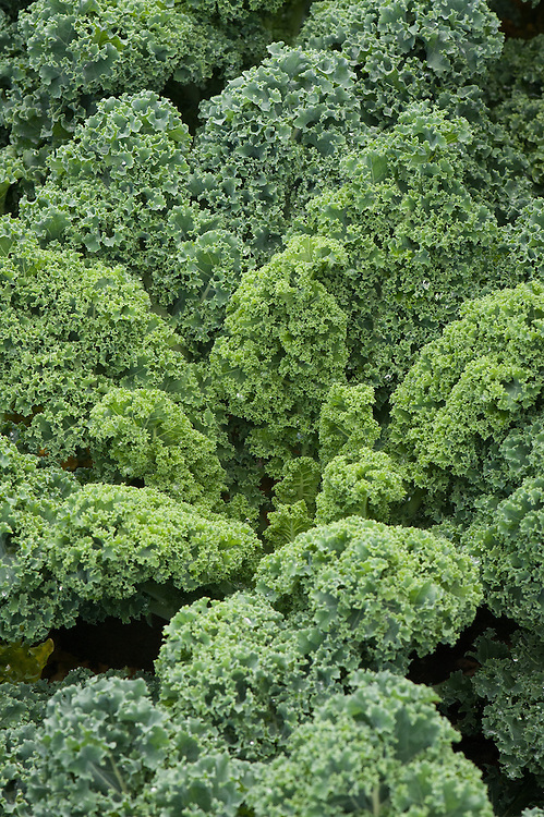 Borecole or curly kale 'Starbor', early September. Compact plants produce prolific, year-round yields.