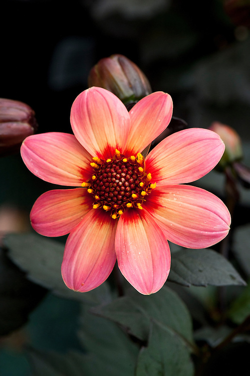 Dahlia 'Happy Single First Love', early August.