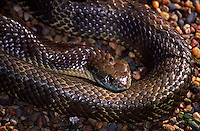 The Eastern Tiger Snake (Notechis scutatus) is variable in colour from brown, olive, grey to black. The most usual pattern is alternating light and dark bands, which gives rise to the common name. It has a highly toxic venom and until recently held the record for most Australian snakebite fatalities (now overtaken by the Eastern Brown Snake, Pseudonaja textilis).