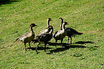 Hawaii: Kauai, Endangered Nene Geese at Kilauea Lighthouse.  Photo hifree128.Photo copyright Lee Foster, 510/549-2202, lee@fostertravel.com, www.fostertravel.com