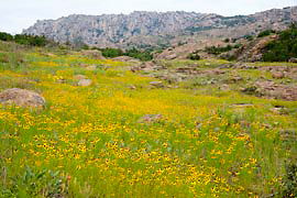 Carpet of wildflowers (Sneezeweed Helenium sp.) near Charon's Garden Wilderness, Wichita Mountains National WildlifeRefuge, Oklahoma, USA