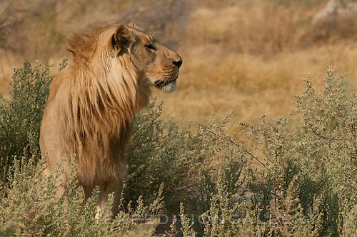 Lion, Chitabe Camp, Okavango Delta, Botswana.