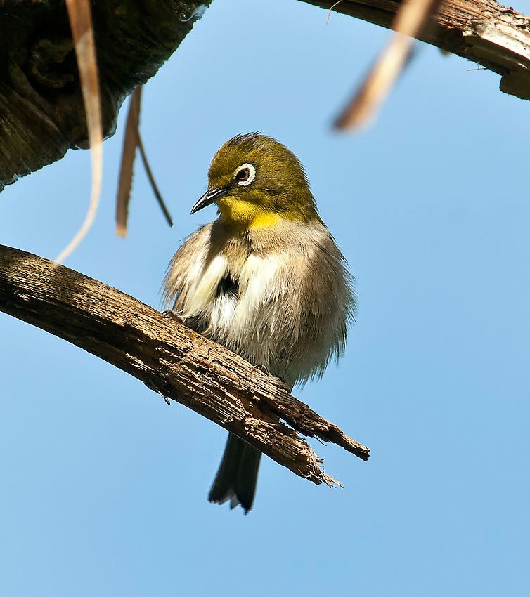 A Japanese white-eye (also known as a mejiro) sits in a tree at Princeville, Kauai, Hawaii