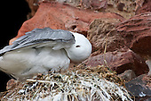 Black-legged kittiwake (Rissa tridactyla) Preening on nest. They take time out to preen as the intervals waiting for the partner to return can take some time and made even harder when the days are warm and humid. Kittiwakes on Nest tend to be the more seasoned parents. Newly paired Kittiwakes often leave the nest unatttended and open to predation.