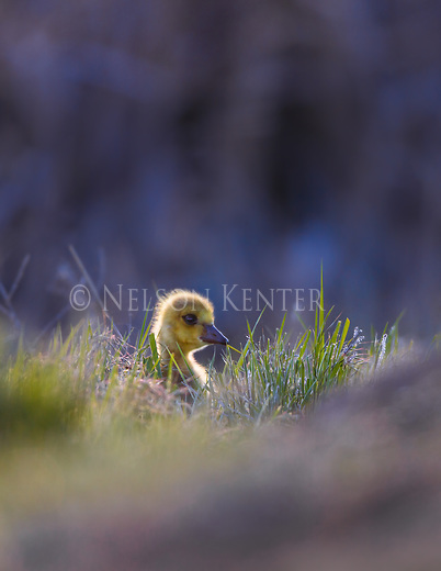Canada goose gosling pokes its head above green grass while feeding on the shore of a pond in western Montana
