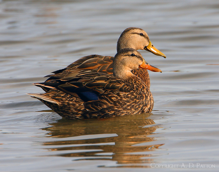 Mottled duck pair, male with yellow bill, female with orange bill
