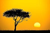 Single Acacia tree silhouetted at sunrise, Masai Mara, Kenya, Africa