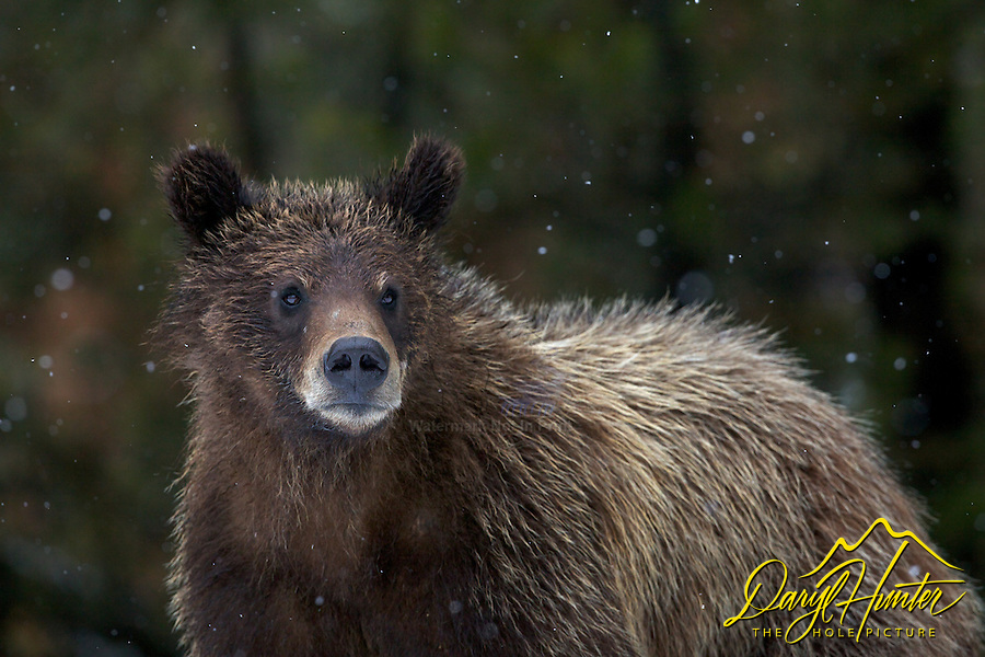 Two year old Grizzly cub in Grand Teton National Park, a few flakes of snow quells the promise of spring.