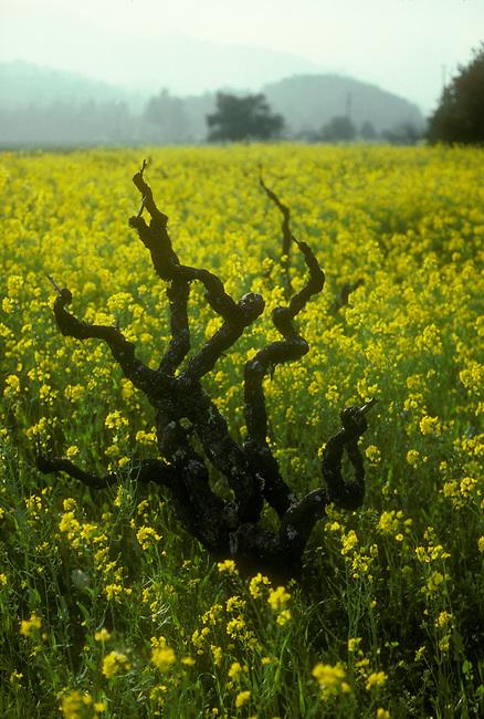 "spring mustard surrounds an old ""head-pruned"" zinfandel vine near St. Helena"