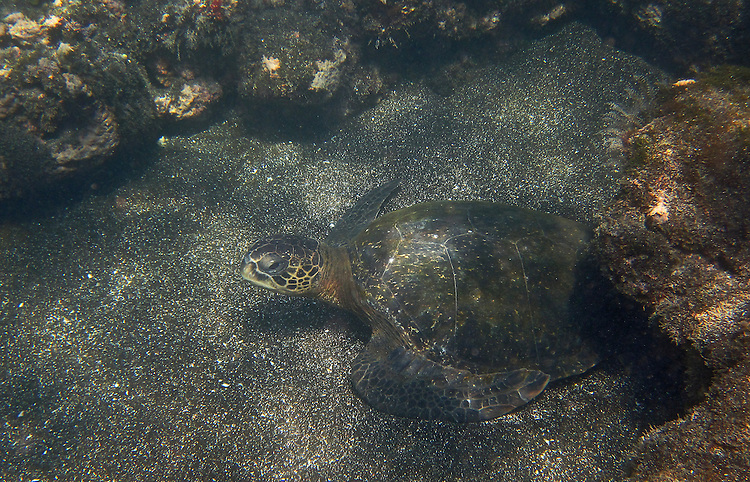 An underwater photograph of the sun reflecting on a Galapagos sea turtle backed by the black, volcanic sand of Santiago Island. The turtle is almost out of where he was hiding under a rocky ledge at the bottom of the ocean.