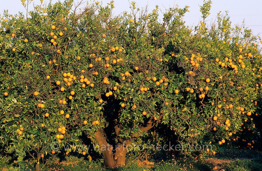 Orange, Apfelsine, reife Orangen am Baum, Früchte und Blüten, Zitrusfrucht, Zitrusfrüchte, Citrusfrucht, Citrusfrüchte, Obst, Obstbaum, Citrus sinensis, Citrus × aurantium, Sweet Orange