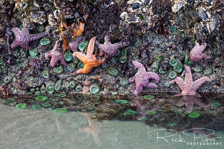 Constellation of starfish are reflected in a tidepool Whaleshead Beach in Southern Oregon.