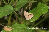 03481-00114 Southern Pearly-Eye (Enodia portlandia) Big Oak Tree State Park Mississippi County, MO