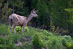 Young mule deer doe, Elk Mountains, Colorado