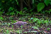 Commun Ground (ingles)- Dove o Tortola Comun, Columbina passerina. Es residente de Mexico y algunos estamos de Mexico, se reproduce en los lugares donde vive con nidos en el suelo. <br /> <br /> ****<br /> Reserva Monte Mojino (ReMM) de la Natural Culture International (NCI)<br /> <br /> Credito:LuisGutierrez
