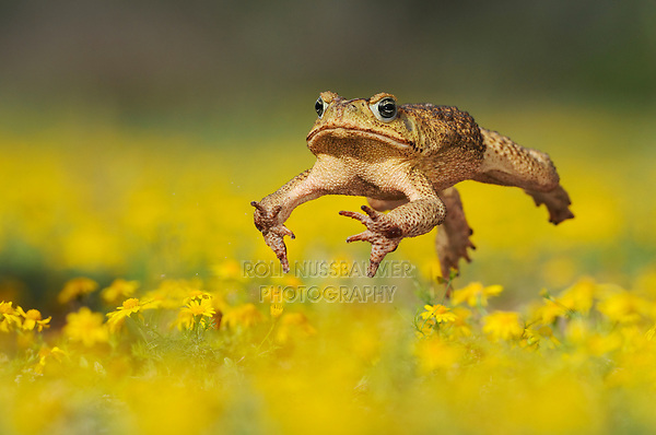 Cane Toad, Marine Toad, Giant Toad (Bufo marinus), adult jumping in wildflower field,  Laredo, Webb County, South Texas, USA
