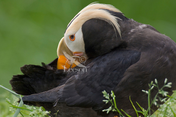 Tufted Puffin (Fratercula cirrhata) grooming feathers
