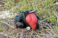 Great Frigatebird (Fregata minor) adult male with red gular throat pouch, incubating an egg in nest, Galapagos Islands, Ecuador