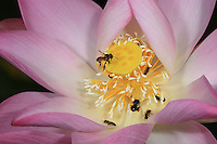 A Meliponula ferruginea bee on a lotus flower with a small melipona Halictidae bee. (Congo-Brazzaville)///Sur une fleur de lotus une Meliponula ferruginea avec une petite melipona Halictidae. (Congobrazzaville).