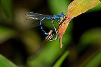 338290013 a wild male and female aztec dancer argia nahuana perch in copula on a plant along empire creek in las cienegas natural area santa cruz county arizona united states