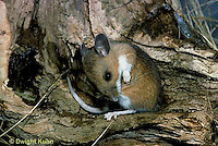 MU13-001z  White-Footed Mouse - cleaning fur - Peromyscus leucopus