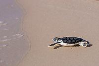 Australian flatback sea turtle hatchling, Natator depressus (c-r), approaches ocean after emerging from nest, Crab Island, off Cape York Peninsula, Torres Strait, Queensland, Australia