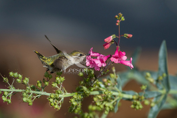 Female Anna's Hummingbird (Calypte anna) feeding on Parry's Penstemon (Penstemon parryi) wildflowers.  Arizona.  Feb-March.