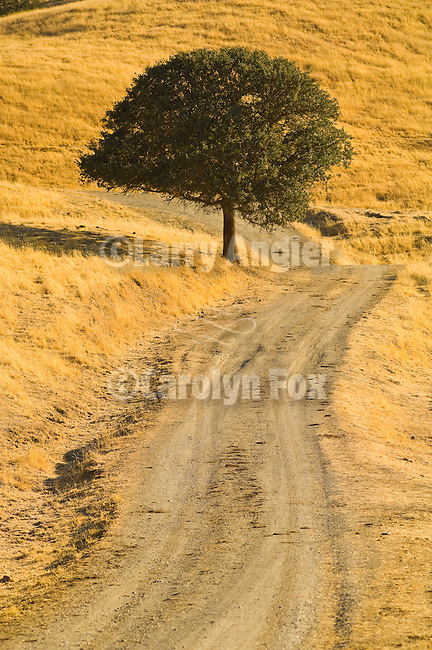 Rural dirt road through the golden foothills of the SIerra Nevada; oak tree