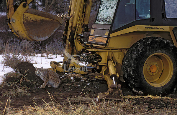 BOBCAT at dawn found near construction equipment. Wildlife habitat makes way for suburban growth. Rocky Mountains. Autumn. (Felis rufus).