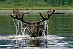 Moose in a pond in northern Maine, USA