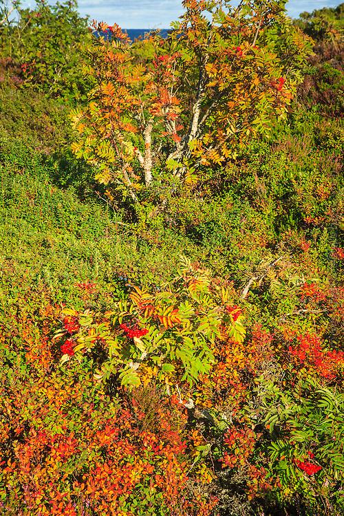 Rönnbär på Norrpada i Stockholms skärgård/ Stockholm archipelago Sweden