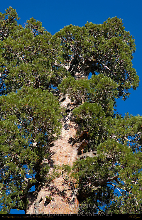 Giant Sequoia Crown Detail, Sequoiadendron giganteum, Grant Grove in Autumn, King's Canyon National Park