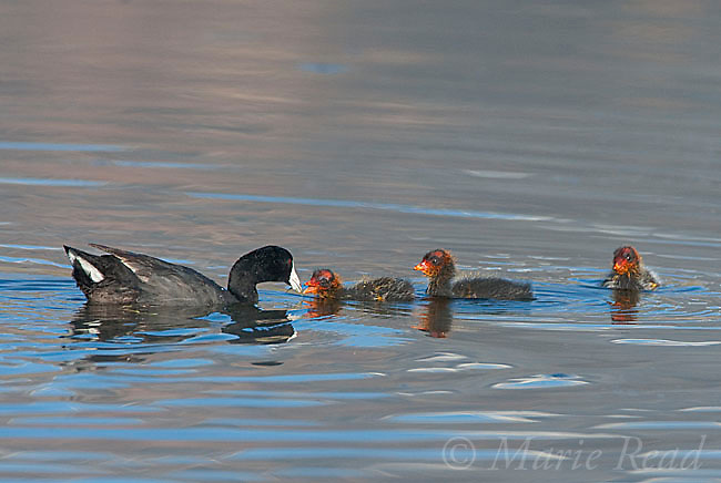 American Coots (Fulica americana), adult feeding one of its three chicks, Mono Lake Basin, California, USA