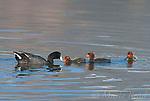 American Coots (Fulica americana), adult feeding one of its three chicks, Mono Lake Basin, California, USA
